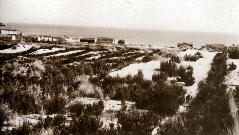 La pineta cresce (1936)